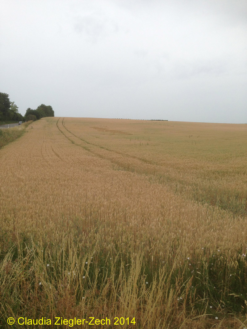 Crop Circle at Billingheim-Ingenheim, Germany. Reported 20th June 2014