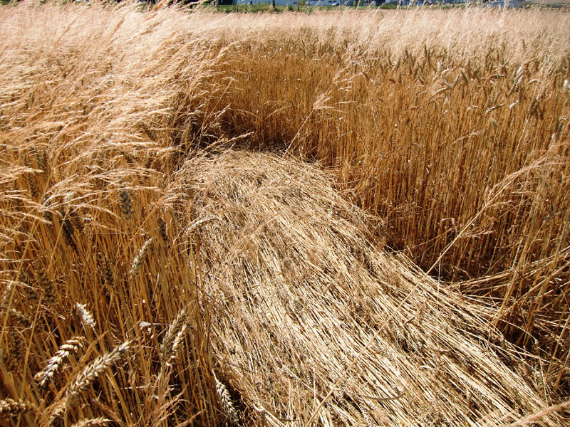 Рисунок хлебное поле